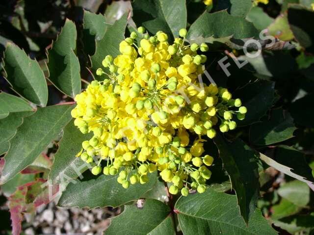 Mahonie cesmínolistá - Mahonia aquifolium