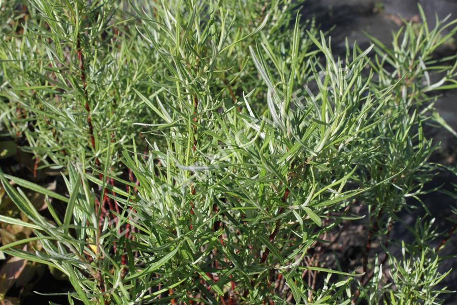 Vrba šedá 'Angustifolia' - Salix elaeagnos 'Angustifolia'