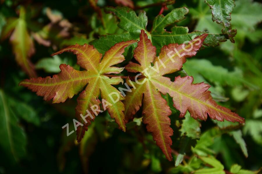 Javor dlanitolistý - Acer palmatum