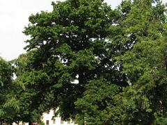Líska turecká - Corylus colurna
