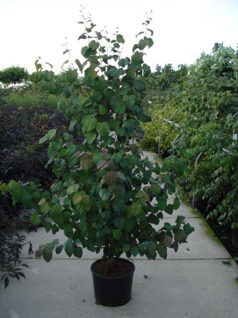 Zmarličník japonský - Cercidiphyllum japonicum