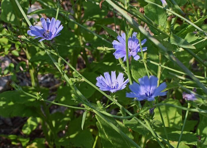 Čekanka obecná - Cichorium intybus