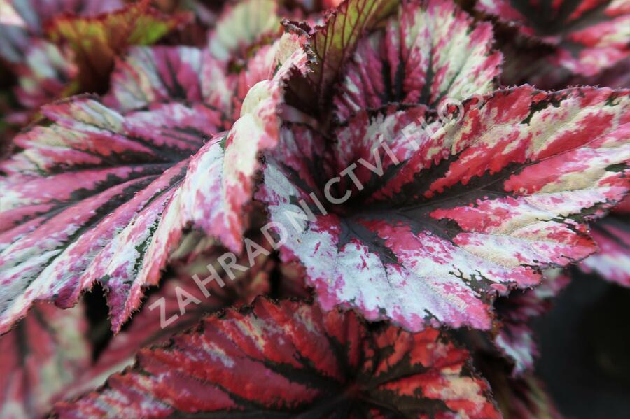 Begónie královská 'Rex Evening Glow' - Begonia hybrida 'Rex Evening Glow'