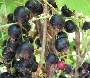 Rybíz černý 'Otelo' - Ribes nigrum 'Otelo'