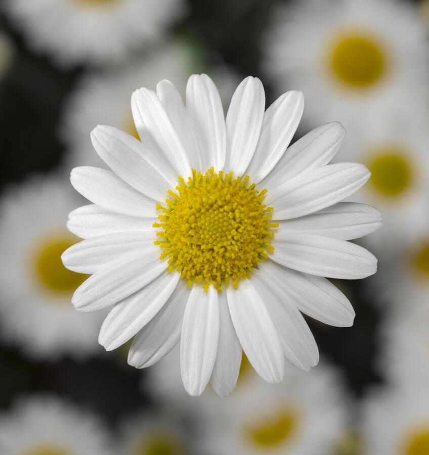 Kopretina pařížská 'Molimba White' - Argyranthemum frutescens 'Molimba White'