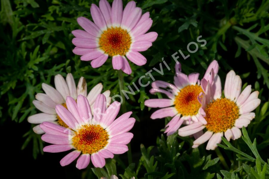 Kopretina pařížská 'Molimba Pink' - Argyranthemum frutescens 'Molimba Pink'