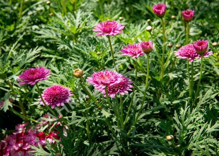 Kopretina pařížská 'Molimba Double Deep Rose' - Argyranthemum frutescens 'Molimba Double Deep Rose'