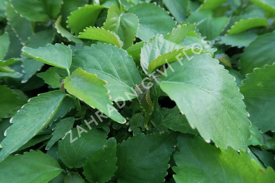 Palnice - Acalypha wilkesiana f.cirsinata