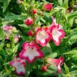 Dračík 'Phoenix Pink' - Penstemon hartwegii 'Phoenix Pink'