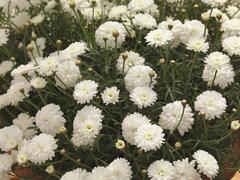 Kopretina pařížská 'Molimba Double White' - Argyranthemum frutescens 'Molimba Double White'