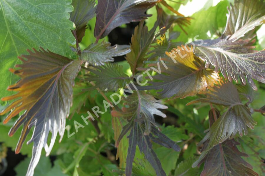 Kočičí ocásek, palnice 'Moorea' - Acalypha wilkesiana 'Moorea'