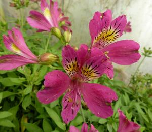 Alstromérie, boubelka 'Jazze Purple Rose' - Alstroemeria hybrida 'Jazze Purple Rose'