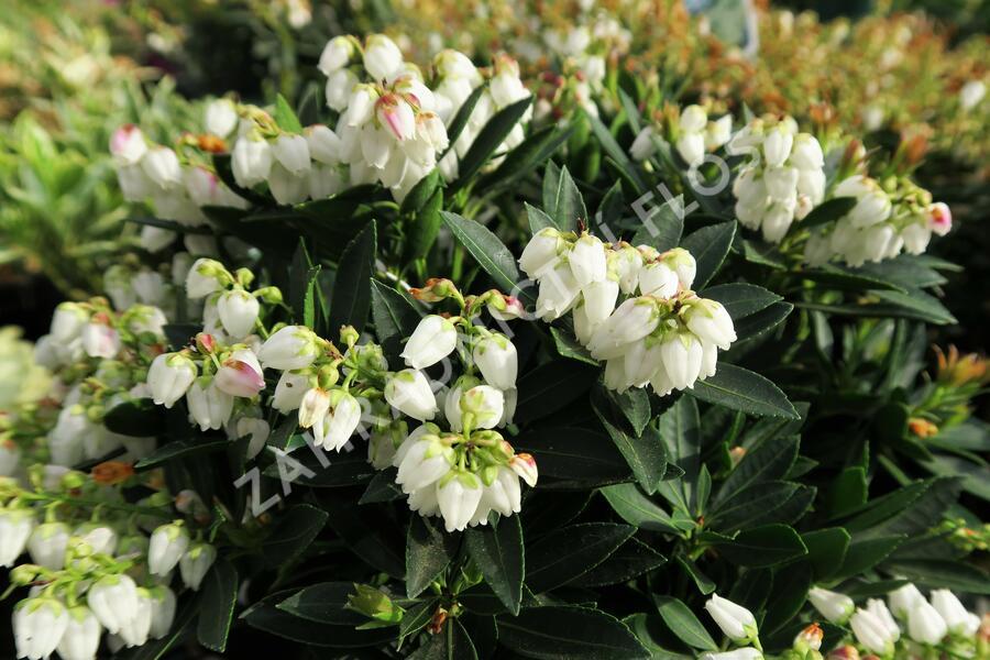 Pieris japonský 'Prelude' - Pieris japonica 'Prelude'