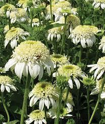 Třapatka nachová 'White Double Delight' - Echinacea purpurea 'White Double Delight'