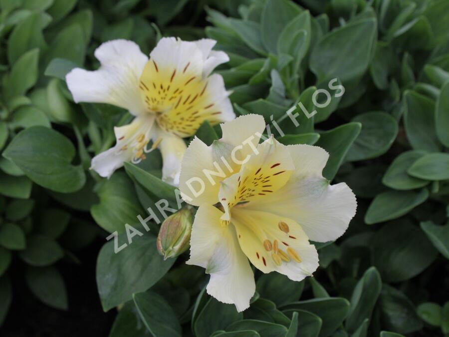 Alstromérie, boubelka 'Inticancha Sunlight' - Alstroemeria hybrida 'Inticancha Sunlight'