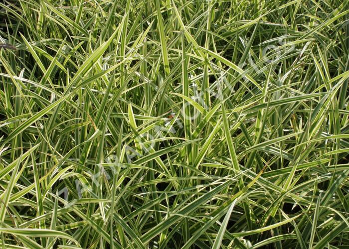 Ostřice japonská 'Goldband' - Carex morrowii 'Goldband'