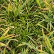 Ostřice 'Blue' - Carex laxiculmis 'Blue'