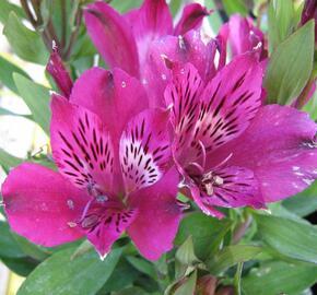 Alstromérie, boubelka 'Inticancha Purple' - Alstroemeria hybrida 'Inticancha Purple'