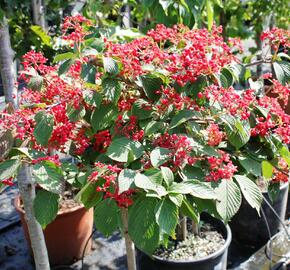 Kalina japonská 'Dart Red Robin' - Viburnum plicatum 'Dart Red Robin'
