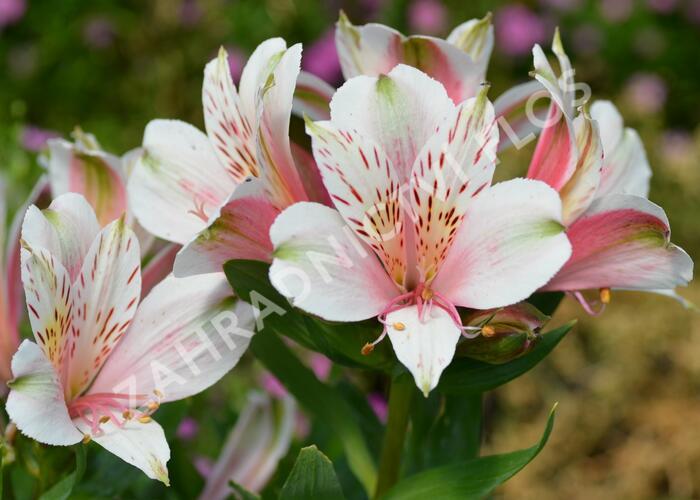 Alstromérie, boubelka 'Inticancha Pink Heart' - Alstroemeria hybrida 'Inticancha Pink Heart'