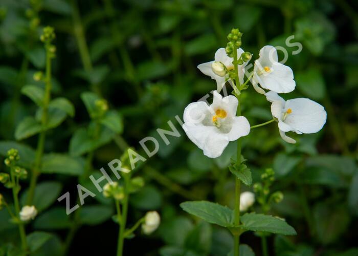 Ostruhatka 'White' - Diascia elegans 'White'
