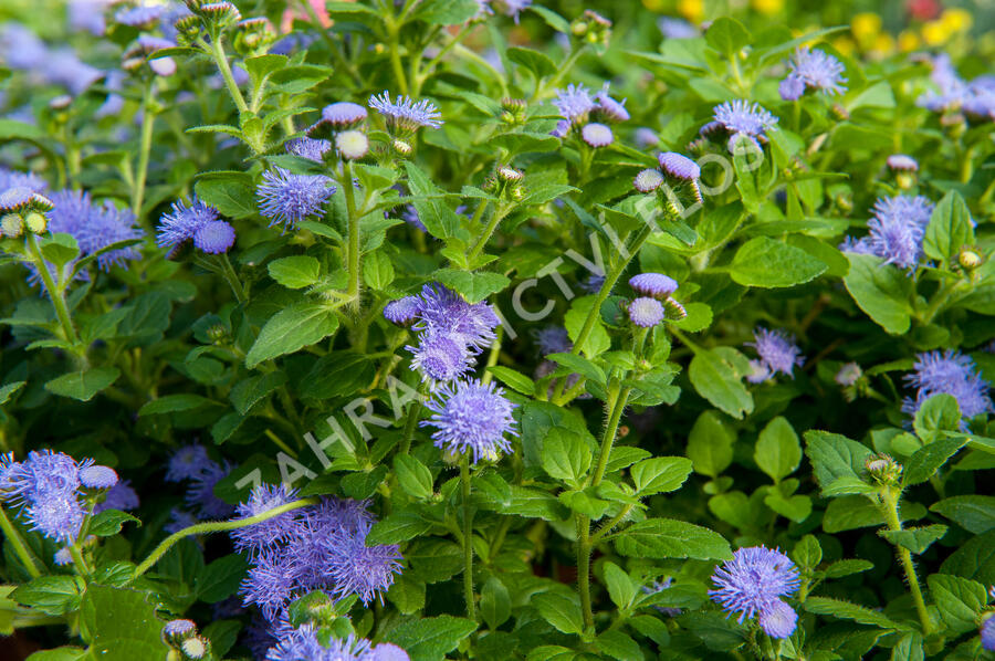 Nestařec americký 'Fields Blue' - Ageratum houstonianum 'Fields Blue'