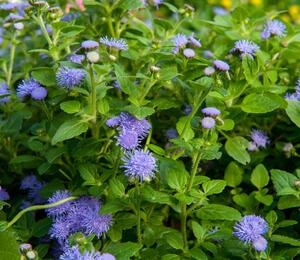 Nestařec americký 'Fields Blue' - Ageratum houstonianum 'Fields Blue'