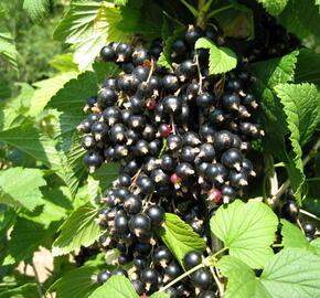 Rybíz černý 'Triton' - Ribes nigrum 'Triton'