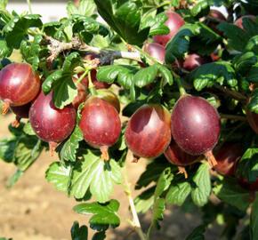 Angrešt červený 'Rolonda' - Grossularia uva crispa 'Rolonda'