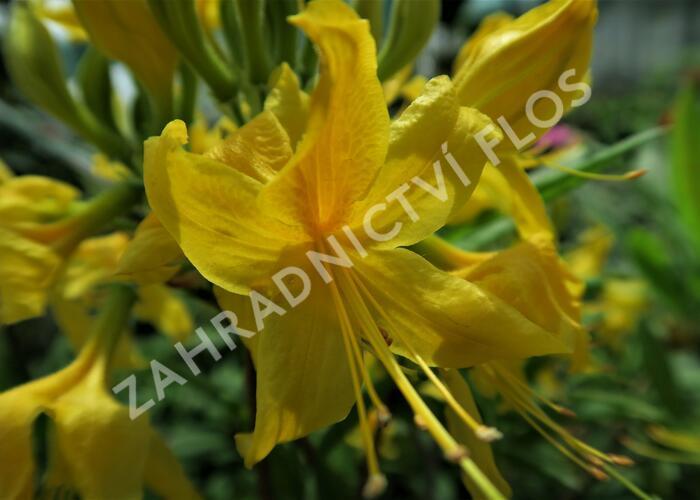 Pěnišník žlutý - Azalea luteum