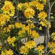 Azalka dřevitá - Azalea luteum