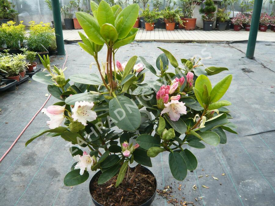 Pěnišník 'Bellini' - Rhododendron 'Bellini'