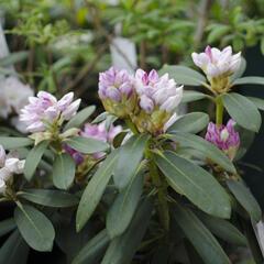 Pěnišník 'Schneekrone' - Rhododendron (Y) 'Schneekrone'