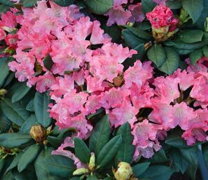 Pěnišník 'Astrid' - Rhododendron (Y) 'Astrid'