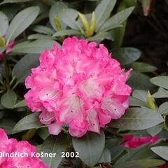 Pěnišník 'Anuschka' - Rhododendron (Y) 'Anuschka'