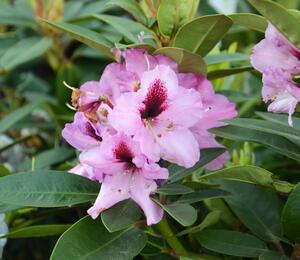 Pěnišník 'Kokardia' - Rhododendron (T) 'Kokardia'