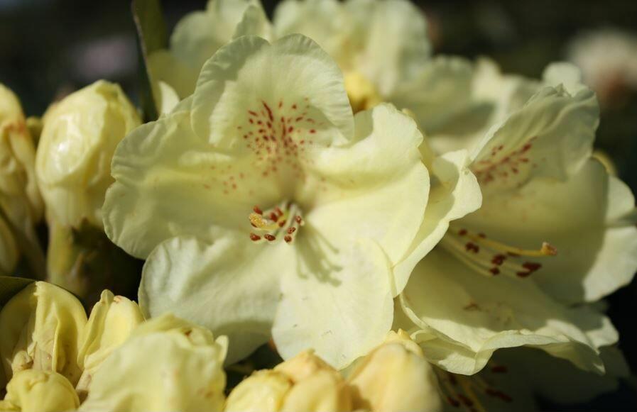 Pěnišník 'Goldkrone' - Rhododendron (T) 'Goldkrone'