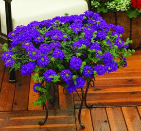 Verbena, sporýš 'Lanai Blue' - Verbena hybrida 'Lanai Blue'