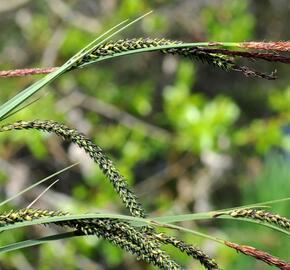 Ostřice štíhlá - Carex acuta