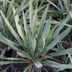 Juka vláknitá - Yucca filamentosa