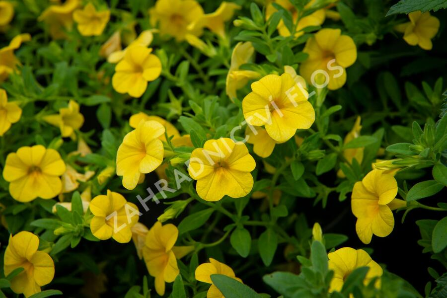 Minipetunie, Million Bells 'Sweetbells Deep Yellow' - Calibrachoa hybrida 'Sweetbells Deep Yellow'