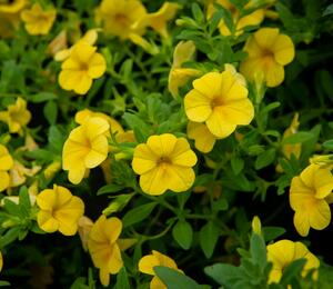 Minipetunie, Million Bells 'Sweetbells Deep Yellow' - Calibrachoa hybrida 'Sweetbells Deep Yellow'