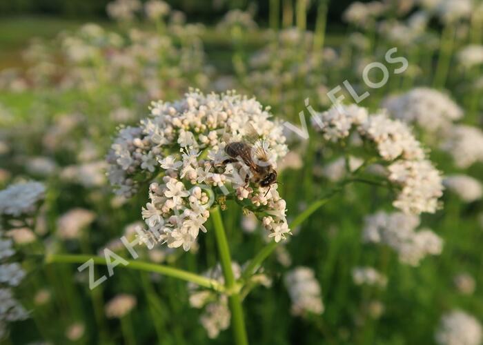 Kozlík lékařský - Valeriana officinalis