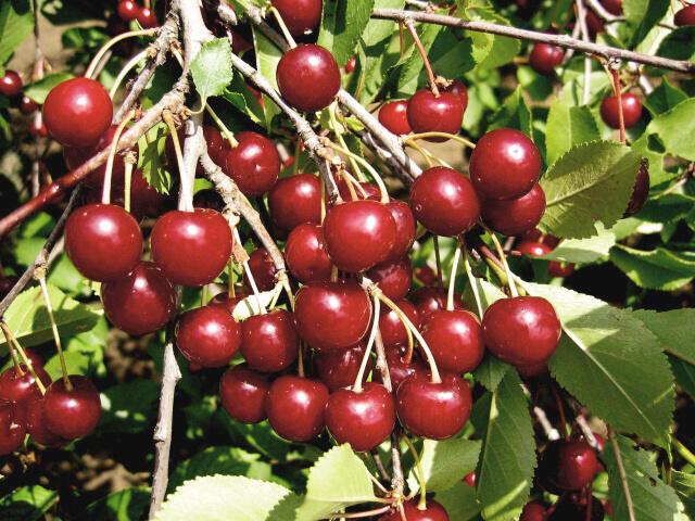 Višeň velmi pozdní - kyselka 'Morela pozdní' - Prunus cerasus 'Morela pozdní'