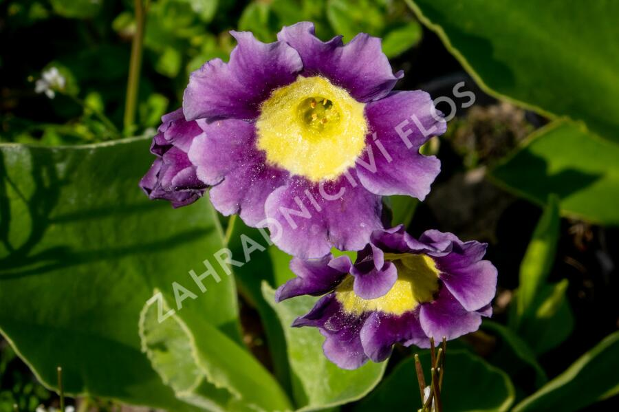 Prvosenka - Primula x pubescens