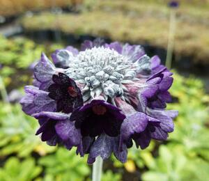 Prvosenka - Primula capitata ssp. mooreana