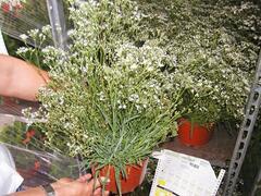 Šater latnatý 'Schneeflocke' - Gypsophila paniculata 'Schneeflocke'