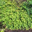 Lískovníček chudokvětý - Corylopsis pauciflora