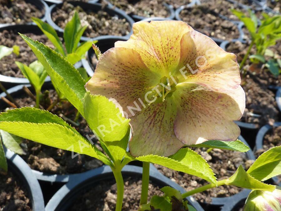Čemeřice východní 'New Hybrids' - Helleborus orientalis 'New Hybrids'