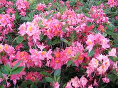 Azalka 'Berryrose' - Azalea (KH) 'Berryrose'